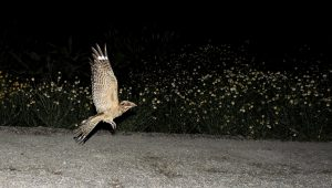 Chotacabras Cuellirojo alzando el vuelo